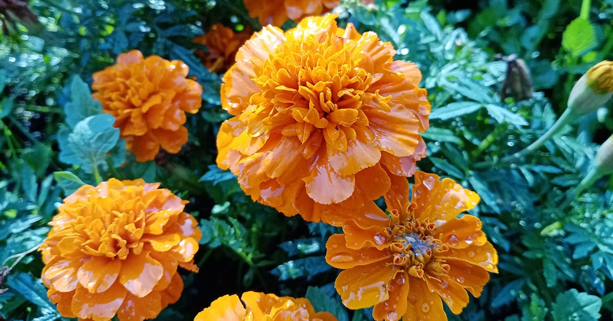 Day of the Dead marigolds (Mariia Poliakova/Dreamstime)